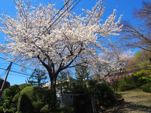 ★代々木上原の桜★の画像