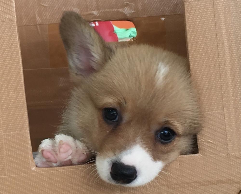 生後55日の看板犬(コーギー)のココちゃんです。の画像