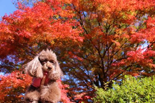 ☆ 紅葉狩りで箱根へ ☆の画像